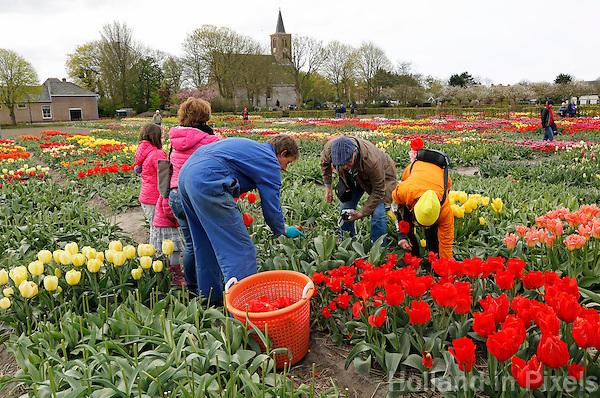 Hortus Bulborum in Limmen.  In de tuin staan meer dan 4000 soorten. De hortus, waarin voornamelijk tulpen staan, is in 1928 opgericht. Tuinder verwijdert de bloemen van de tulpen, zodat de bollen verder kunnen groeien. Bezoekers helpen mee