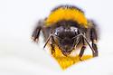 Buff-tailed Bumblebee {Bombus terrestris} worker feeding on Ox-eye Daisy (Leucanthemum vulgare). Peak District National Park, Derbyshire, UK. July.