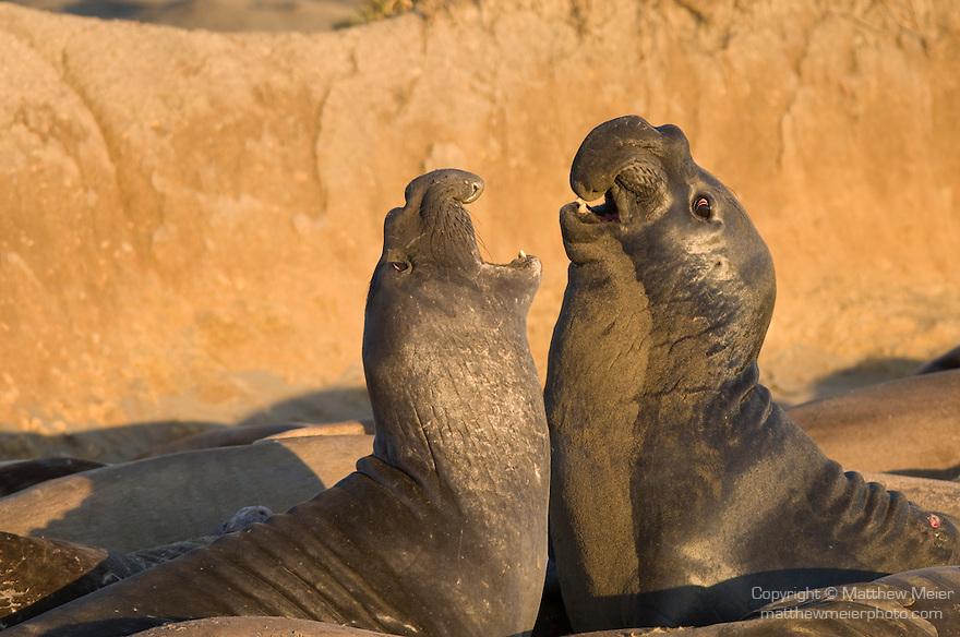 San Simeon, California; two male Northern Elephant Seals (Mirounga angustirostris) fight for dominance on the sandy beach