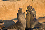 San Simeon, California; two male Northern Elephant Seals (Mirounga angustirostris) fight for dominance on the sandy beach