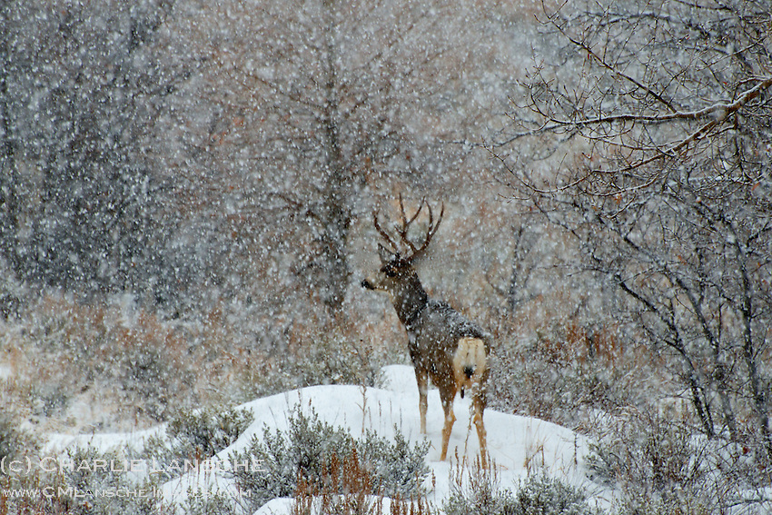 Heavy snowfall creates a surreal winter scene as this large mule deer buck seeks protective shelter in  a thick tangle of oak brush. Wasatch Mountains, Utah.