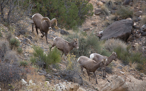 A ram desert bighorn sheep chases a few ewes at Capitasl Reef National Park, Utah