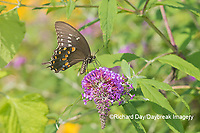 03029-01514 Spicebush Swallowtail (Papilio troilus) on Butterfly Bush (Buddleja davidii) Marion Co. IL