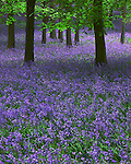 Dockey Woods, Bluebells