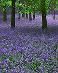 Dockey Woods, Bluebells