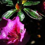 Gladiolus and Azalea