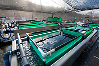 Raceway tanks for Sockeye salmon fry at the Gulkana Hatchery