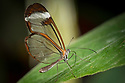 August 9, 2016 / Magic Wings Butterfly Conservatory / South Deerfield, MA / Shown: Glass Wing /  Photo by Bob Laramie