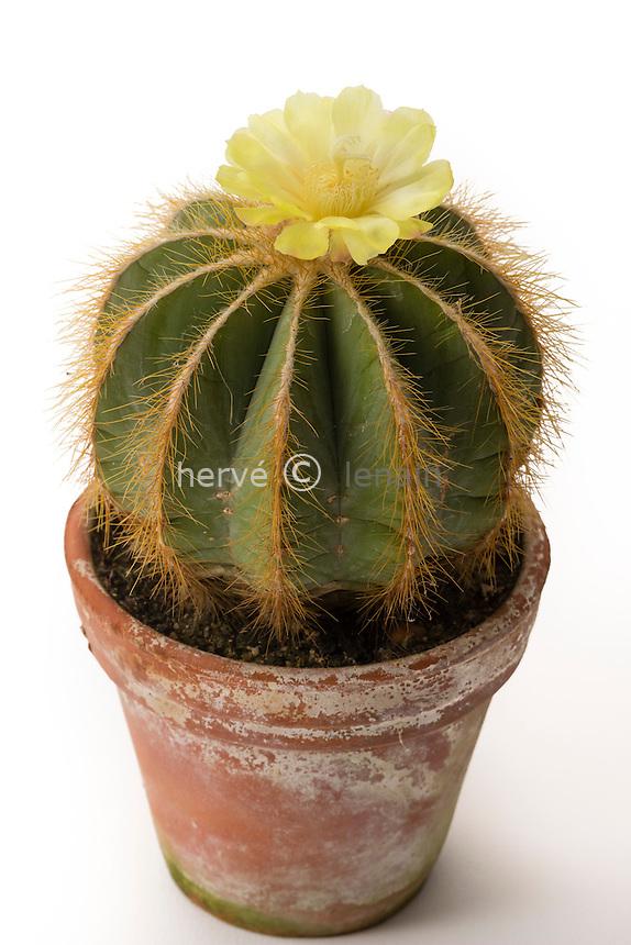 Notocactus magnificus = Parodia magnifica