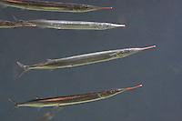 Europäischer Hornhecht, Horn-Hecht, Belone belone, garfish, garpike