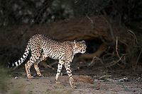 Young cheetah walking