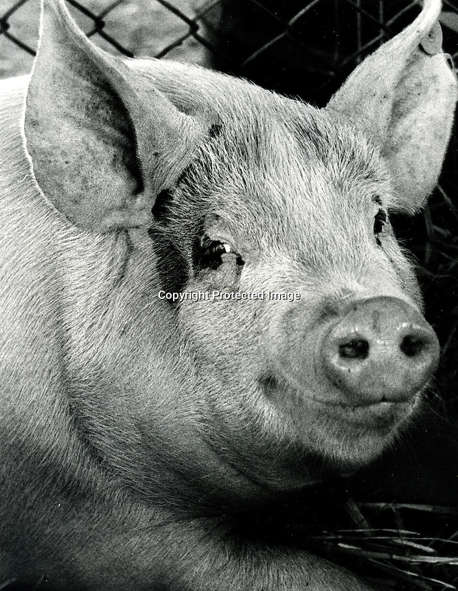 Smiling pig at the Alameda County Fair in Pleasanton, Ca.  (1972 photo by Ron Riesterer)