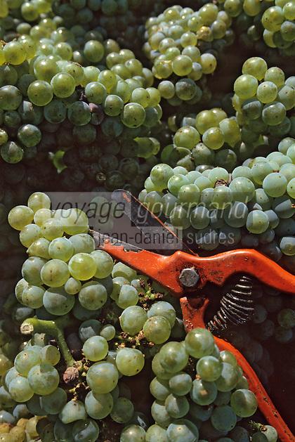Europe/France/Pays de la Loire/44/Loire-Atlantique/AOC Muscadet/Saint-Fiacre-sur-Maine: Vendanges - Cépage Melon