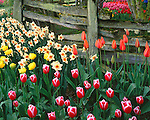 "Skagit County, WA               <br /> Multicolored tulips combine with daffodils under a weathered grey fence in the Roozengaarde garden ""Courtesy of the Washington Bulb Co. Inc."""
