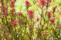 Castilleja miniata - <br /> Great Red Paintbrush,  scarlet paintbrush, flowering wildflower, California native plant Sierra meadow