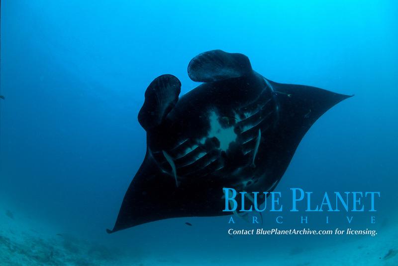 reef manta ray, Manta alfredi, Papua New Guinea, Pacific Ocean
