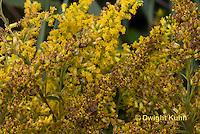 AM01-523z  Ambush Bug camouflaged on goldenrod, Phymata americana