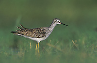 Lesser Yellowlegs, Tringa flavipes, adult, Willacy County, Rio Grande Valley, Texas, USA, April 2004