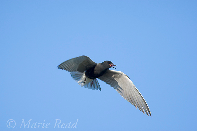 Black Tern (Chlidonias niger), calling in flight, Perch River Wildlife Management Area, New York, USA