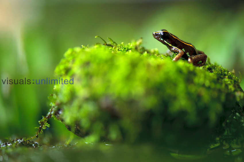 Lovely Poison Frog (Phyllobates lugubris), Costa Rica. These tiny frogs have neurotoxin in their skin to deter predators.