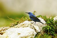 Blaumerle, Männchen, Blau-Merle, Monticola solitarius, blue rock thrush, male, Le Monticole merle-bleu, Monticole bleu