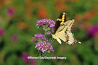 03017-003.18 Giant Swallowtail butterfly (Papilio cresphontes) on Verbena Bonariensis, Marion Co.  IL