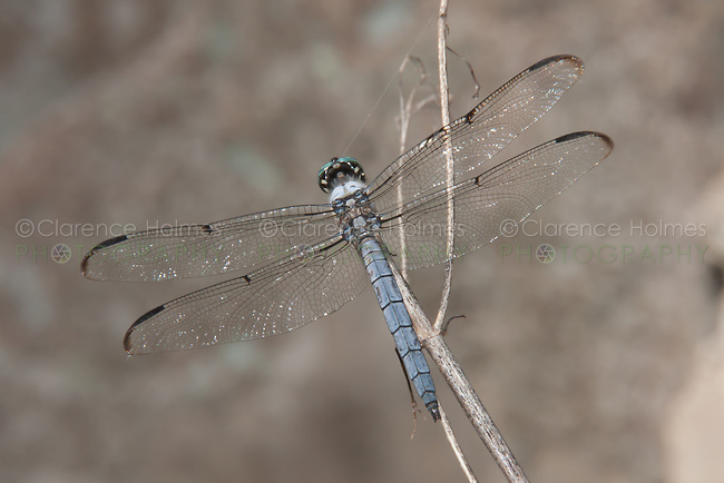 Great Blue Skimmer (Libellula vibrans) Dragonfly - Male, Somerset County, New Jersey