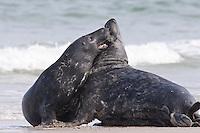 Kegelrobbe, Kegel-Robbe,  Kegel - Robbe, kämpfende Bullen, Männchen, Halichoerus grypus, Grey Seal, Phoque gris