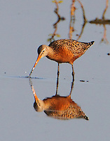 Male Hudsonian godwit in breeding plumage feeding