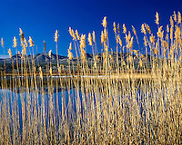 Reeds along a pond with Snow Geese in the Bosque del Apache Game Refuge, NM