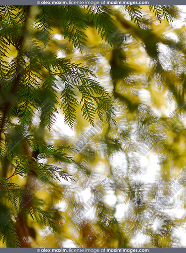 Artistic abstract nature closeup of cedar branches and yellow autum tree leaves in the background. Vancouver Island, British Columbia, Canada. Image © MaximImages, License at https://www.maximimages.com