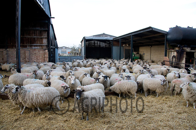 In lamb ewes are brought in to straw yards for the night at Croft Farm,Uffington,Stamford,Lincolnshire.Picture by Tim Scrivener date taken 1st March 2012.mobile 07850 303986 e-mail tim@agriphoto.com.....covering agriculture in The United Kingdom....