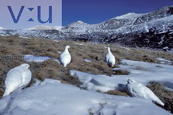 White-tailed Ptarmigans in winter plumage ,Lagopus leucurus,, North America.