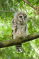 Juvenile Barred Owl, Washington