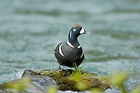Harlequin Duck drake on fast flowing mountain stream.  Pacific Northwest.  Spring.