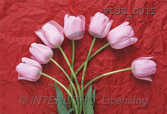Jacek, FLOWERS, portrait, macro, photos, PLSE, PLSED012,#F# Blumen, flores, retrato
