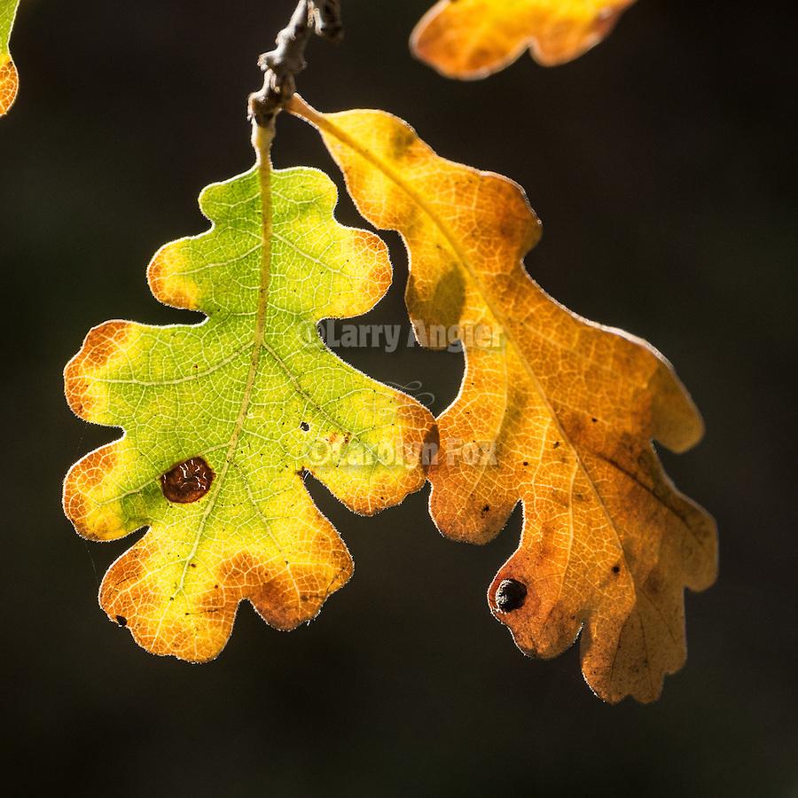 Colorful oak leaves turn golden in autumn, Peek Hill, Jackson, Calif.