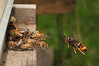 To try to defend the colony from this incessant predation, the bees fight back by forming a cluster on the flight board. They thus save a few foraging bees returning after gathering nectar and pollen from the flowers.///Pour tenter de protéger la colonie de cette prédation incessante, les abeilles luttent en formant une grappe sur la planche d'envol. Elles sauvent ainsi quelques butineuses à leur retour des fleurs.