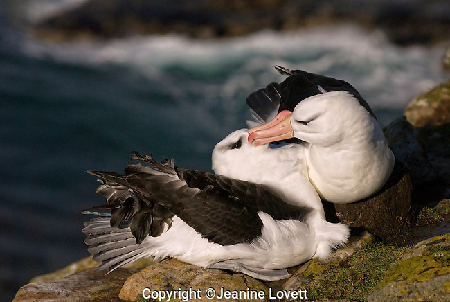 Albatross is seating on the nest while bonding with its mate.
