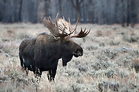 Moose Bull, Grand Teton National Park
