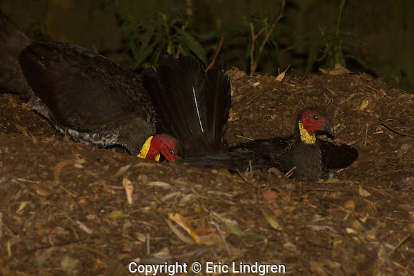 Australian Brush nesting behaviour - female lays egg watched by nest owner-male, Brisbane, Queensland,  Australia.  //   Australian Brush-turkey - Megapodiidae: Alectura lathami. Length to 75cm, wingspan to 85cm, weight to 2kg. Male with a bright naked red head and neck, and a sunflower-yellow wattle (lilac in Cape York birds) at the junction with the body feathers. Female duller, wattle hardly developed, juvenile similar. Male builds a large mound (height 1.5m, diameter 4m) of leaves and litter scratched from surrounding area, often moving material a considerable distance - in urban situations may rake all the mulch and surface plants from the garden to the nest to the annoyance of gardeners.  Eggs are laid in holes dug into the decomposing vegetation at a depth of ~34 degrees C - male detects temperature with his beak. A constant temperature is maintained by adding or removing vegetation from the surface of the mound. Polygamous - eggs are laid by a number of females, and the season lasts through the summer months, Sep-Mar. Head and wattle become paler out of breeding season.  Chicks are super-precocious, able to fly and fend for themselves as soon as they have dried out after digging their way from the hatching site - from the distance they look like a quail. In this photo: The owner of the nest, the male is behind the female checking as she lays an egg in a mound in a suburban back-yard. IUCN Status: Least Concern.  //    Eric Lindgren.   //   EL  //  PS  //