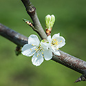Blossom of 'Victoria' plum, early April.
