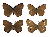 Ringlet - Aphantopus hyperantus - male (top row) - female (bottom row). Wingspan 48mm. A distinctively dark grassland butterfly. Adult has sooty-brown wings that are darker in males than females; both upper and lower wings are marked with eyespots but the size and number are variable. Flies June–July. Larva feeds on grasses and is strictly nocturnal. Widespread and fairly common in Britain and Ireland as far north as southern Scotland. Associated with a wide range of grassland habitats.