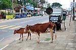 Cow and calf by roadside, Polonnaruwa. North Central Province, Sri Lanka, Asia