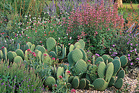 Hardy succulent Opuntia aurea, Salvia 'Hot Lips' and Agastache 'Acapulco'. Kelly Grummons design. Colorado.
