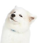 20141104 Samoyed Puppy