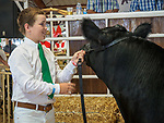 A steer up for auction, 54th annual Junior Livestock Auction during Sunday at the 80th Amador County Fair, Plymouth, Calif.<br /> .<br /> .<br /> .<br /> .<br /> #AmadorCountyFair, #1SmallCountyFair, #PlymouthCalifornia, #TourAmador, #VisitAmador