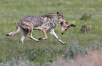 wolf carring deer head, YNP