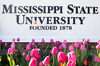 Spring tulips at the north entrance of campus.<br />  (photo by Beth Wynn / &copy; Mississippi State University)