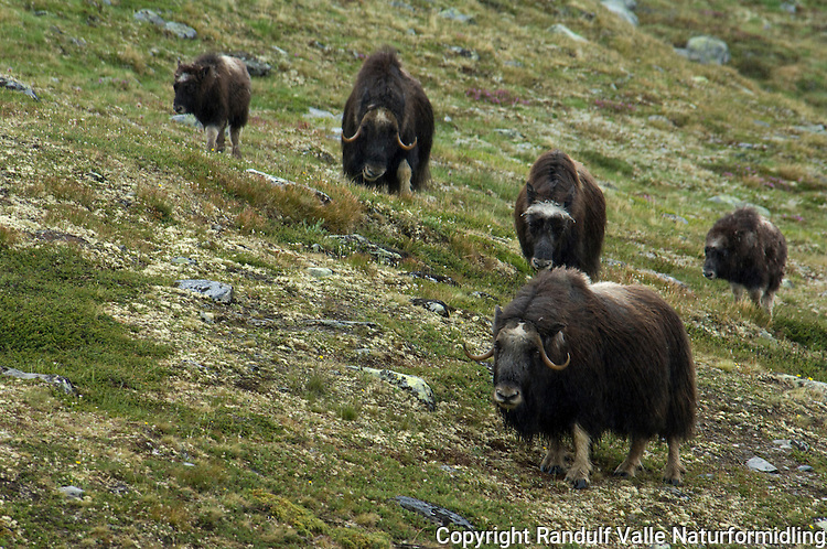 Moskusflokk ---- Herd of muskox
